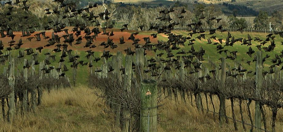 vineyard birds x 1