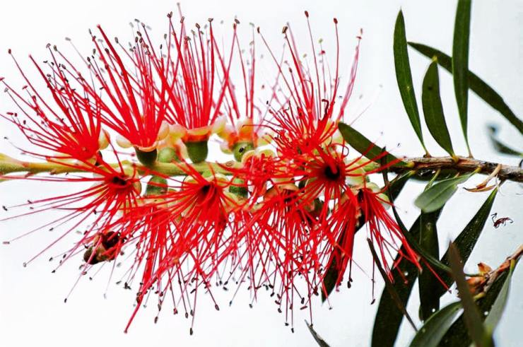 BOTTLE BRUSH MOCKERY.jpg